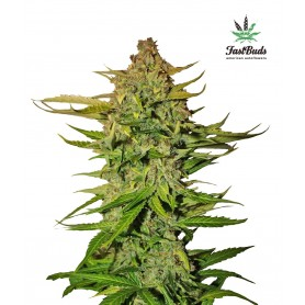 Northen Express de Fast Buds