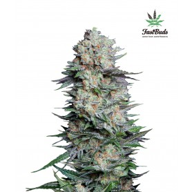 Mexican Airlines de Fast Buds