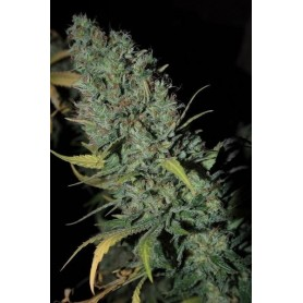 Strawberry Amnesia de  Dinafem 1u