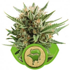 Sweet Skunk Automatic de Royal Queen 3u