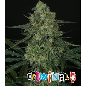 Criminal + 5 - Ripper Seeds