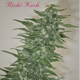 Rishi Kush Regulares de Mandala Seeds 10u