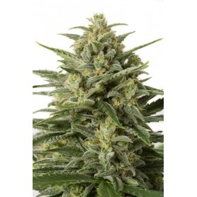 White Widow XXL Autofloreciente de Dinafem