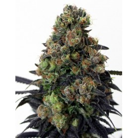 Acid Dough de  Ripper Seeds
