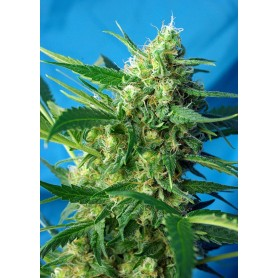 Ice Cool Autofloración de Sweet Seeds