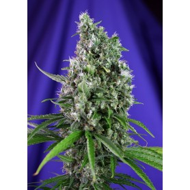 Sweet Trainwreck Autofloración de Sweet Seeds