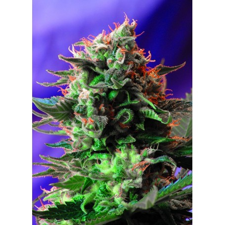 Jack 47 Fast Version de Sweet Seeds
