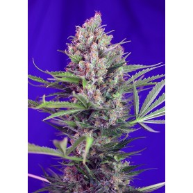 Cream Mandarine Fast Version de Sweet Seeds