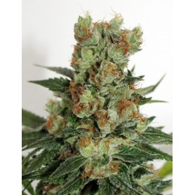 Fuel OG de Ripper Seeds