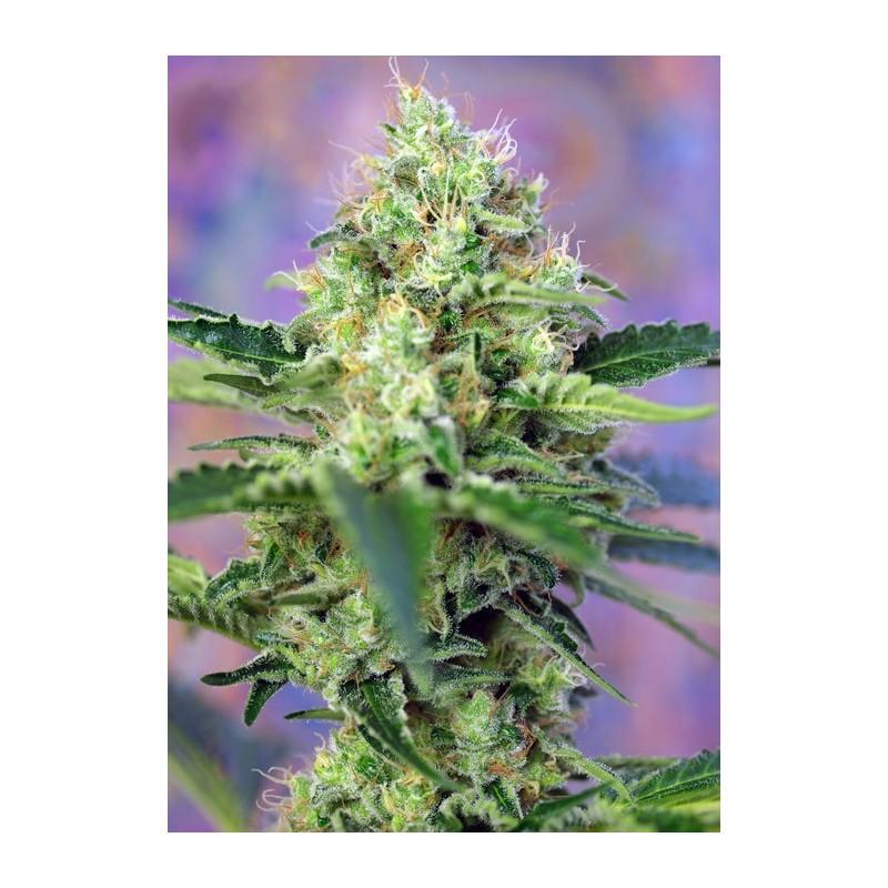 Crystal Candy Feminizada de Sweet Seeds