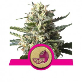 Lemon Haze Feminizada de Royal Queen 10u