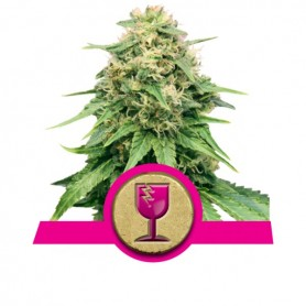 Critical Kush Feminizada de Royal Queen 3u