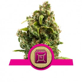 Sour Diesel Feminizada de Royal Queen 3u