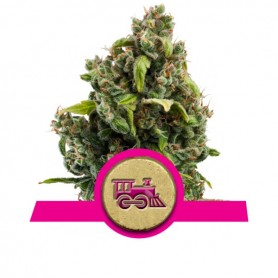 Candy Kush EXpress Feminizada de Royal Queen 1u