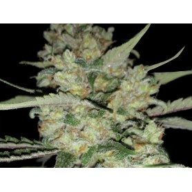 Critical Exclusive Feminizada de Exclusive Seeds Bank