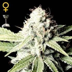 Great White Shark Feminizada de Green House 3u