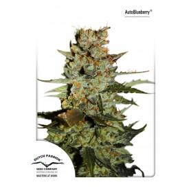 AutoBlueberry Feminizada de Dutch Passions 7u
