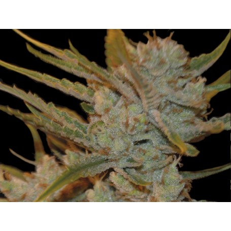 Oxus Feminizadas de Exclusive Seeds Bank