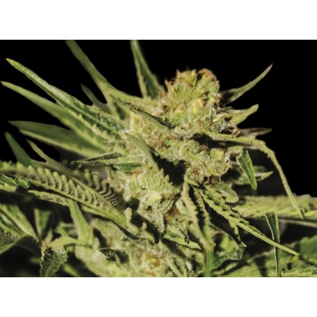 Egarshark Feminizadas de Exclusive Seeds Bank