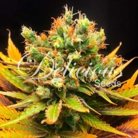 Honeybells CBD de Delicious Seeds 3u