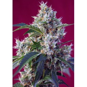 Indigo Berry Kush de Sweet Seeds 5u