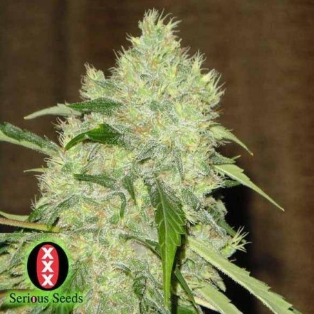 11 Semillas Bubble Gum Regulares de Serious Seeds