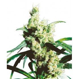 Silver Haze Regulares de Sensi Seeds 10u