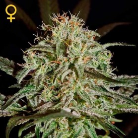 A.M.S Feminizadas de Green House Seeds 10u