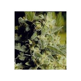 6 Semillas Double Dutch Feminizadas de Serious Seeds