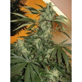 Swiss Bliss de Paradise Seeds