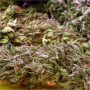 Delicatessen Seeds Bank de Puta Madre - Reg