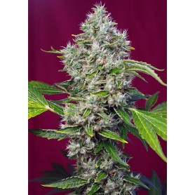 Sweet Seeds 3u San Fernando Lemon Kush
