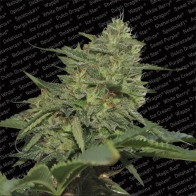 Original Cheese Feminizada de Paradise Seeds