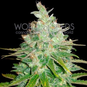 AFGHAN KUSH X BLACK DOMINA (MEDICAL C.) * WORLD OF SEEDS 3 U