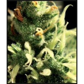 Lemon Skunk Feminizada de Green House