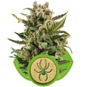 White Widow Autoflorecientes de Royal Queen