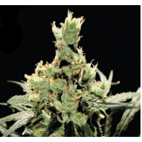 Super Lemon Haze Feminizadas de Green House