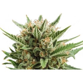 Sweet Skunk Automatic Autofloreciente de Royal Queen