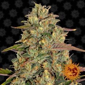 Amnesia Lemon Feminizada de Barney's Seeds