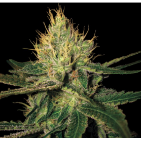 Cannalope Haze Feminizada de DNA Genetics