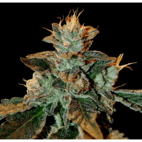 Cataract Kush Feminizadas de DNA Genetic