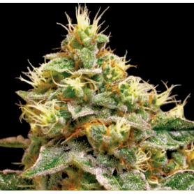 6 Semillas Confidential Cheese Feminizadas de DNA Genetic - Reserva Privada