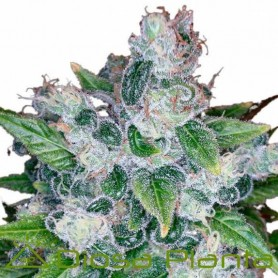Kandy Kush Feminizadas de DNA Genetics