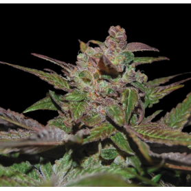 6 Semillas Purple Weeck Feminizada de DNA Genetics - Reserva Privada