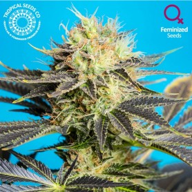 Dandy Dance CBD Feminizada de Tropical Seeds