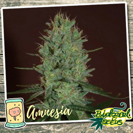 Amnesia Feminizadas de Biological Seeds