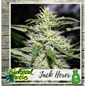 Jack Herer Feminizadas de Biological Seeds
