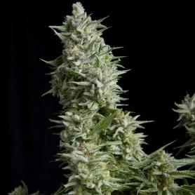 Alpujarreña Feminizada de Pyramid Seed