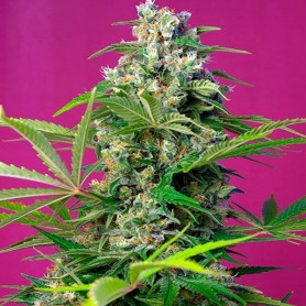 Gorilla Girl de Sweet Seeds