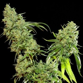 Cannatonic Feminizada de Resin Seeds